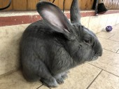 Buggs, flemish giant rabbit