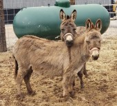 Thelma & Louise, mini donkeys