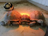 African spur-thighed sulcata tortoises